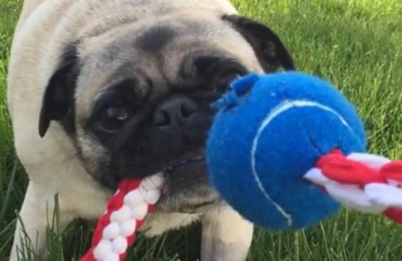 Faça um brinquedo para o seu cão a partir de suas camisetas velhas