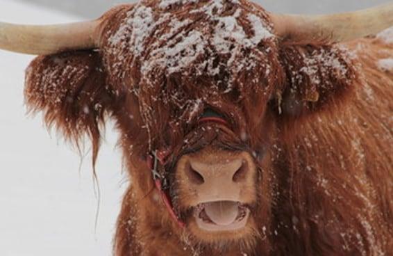 19 vacas cabeludas que são mais estilosas do que você