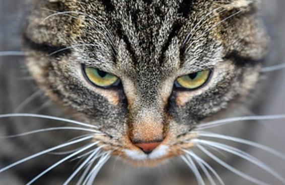 Um destes gatos exóticos representa sua personalidade – descubra qual