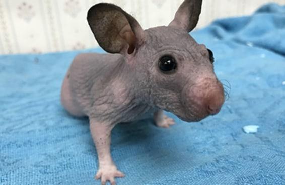 Essa hamster sem pelos é a prova que tudo é melhor pelado