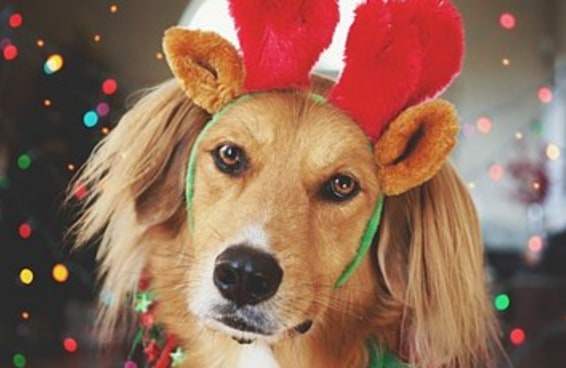 50 cachorros vestidos para as festas de fim de ano