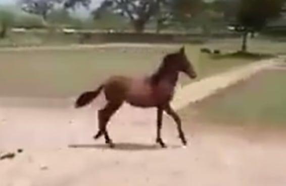 A forma como este cavalinho bebê trota vai fazer você rir