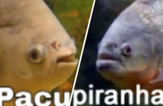 As figurinhas de peixe do WhatsApp são perfeitas - qual delas te representa?