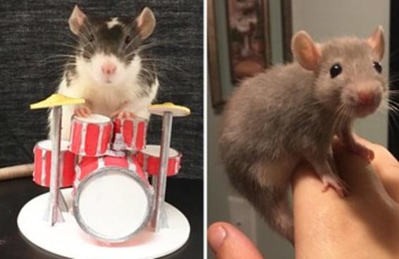 Este post pode te convencer a ter um rato como pet