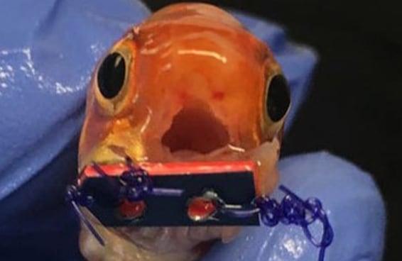 Esse adorável peixinho ganhou um aparelho ortodôntico minúsculo para poder comer