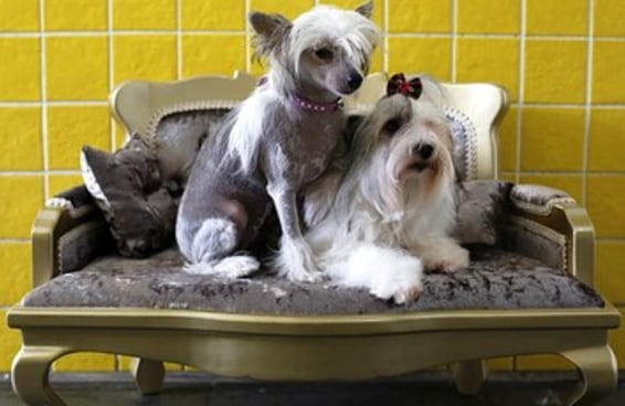 Sua vida não é nada perto do glamour destes cachorros tendo um Dia de Beleza