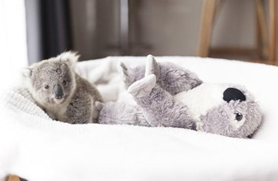 Uma coala bebê foi fotografada e as imagens de bastidores são fofas demais