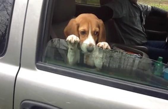 """O adorável Beagle na janela de um carro é a perfeita imagem para postar dizendo """"não desista nunca"""""""