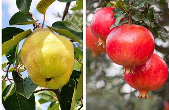 Você consegue reconhecer estas frutas ainda no pé?