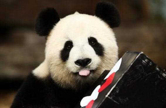A festa de aniversário de uma panda gigante vai iluminar o seu dia