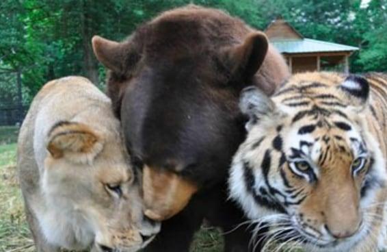 Um leão, um tigre e um urso que foram resgatados do cativeiro hoje são melhores amigos