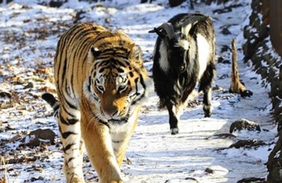 Este bode não para de perseguir seu amigo tigre