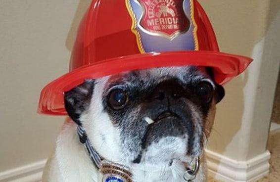 Esse pug se tornou um herói após salvar sua família de um incêndio