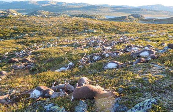 Estas fotos de 300 renas mortas por um raio irão partir seu coração