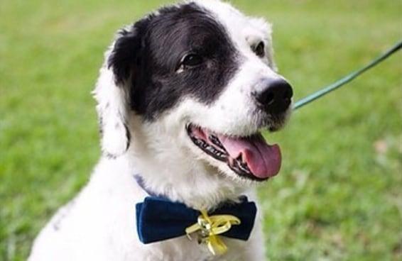 21 cães adoráveis que deixaram cerimônias de casamento mais completas