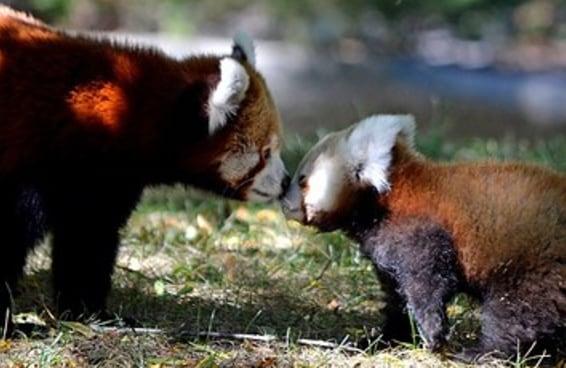 Essa adorável e tímida filhote de panda vermelho fez a sua estreia com uma ajudinha da sua mãe