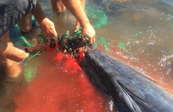 Estes heróis salvaram uma baleia que ficou presa em uma rede de pesca