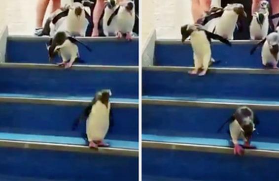 Esse vídeo com pinguins fofinhos descendo a escada é demais para o coração de qualquer um