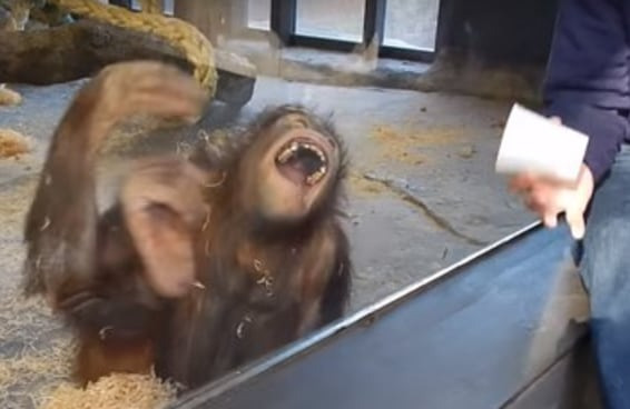 Esse orangotango rolando de rir no chão vai fazer seu dia