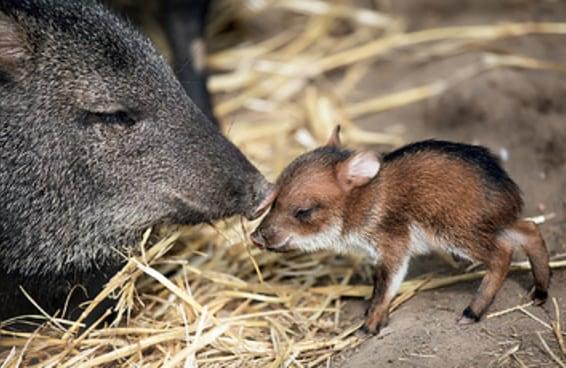 29 animais fofos que são nativos da América Latina