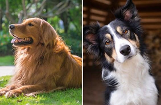 Viva um dia como um cachorro e descubra qual raça de doguinho você seria