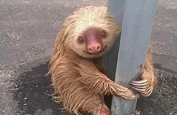 Essa adorável preguiça tentou atravessar uma estrada no Equador e foi a coisa mais fofa do mundo
