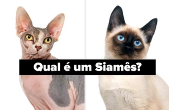 Você consegue diferenciar estas raças de gatos?