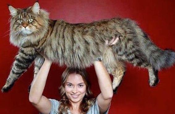 Este gato doméstico gigante está chamando a atenção por se parecer com um lince