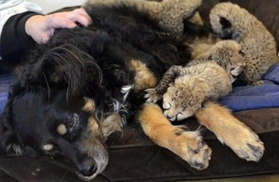 Cachorro vira pai adotivo de cinco filhotinhos órfãos de guepardo