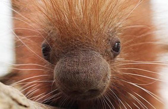 Este bebê porco-espinho parece tão macio que você vai querer abraçá-lo