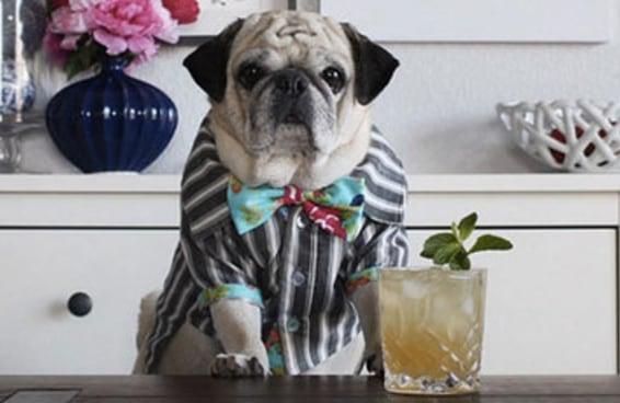 Este pug barman é a nova sensação do Instagram