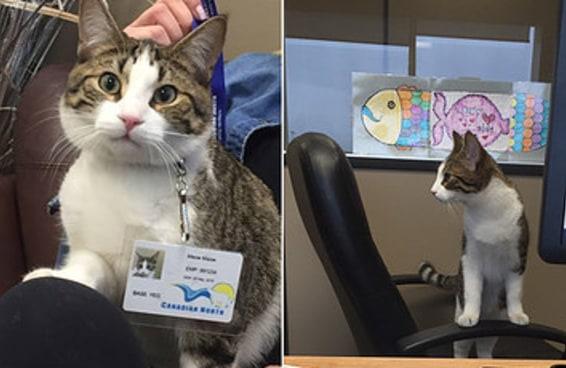 Uma gata ganhou um crachá depois que a dona entrou em trabalho de parto em pleno voo