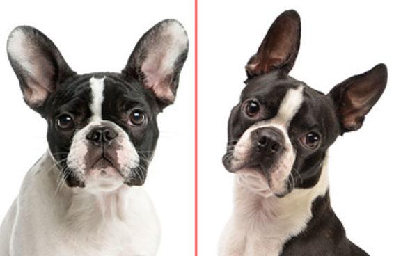 Será que você sabe diferenciar estas raças de cães?