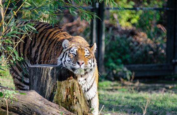 17 tigres que estão agindo como gatos gigantes