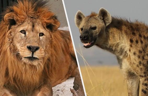 Na selva, você está mais pra leão ou hiena?