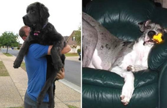 25 cães enormes que não percebem como são gigantescos