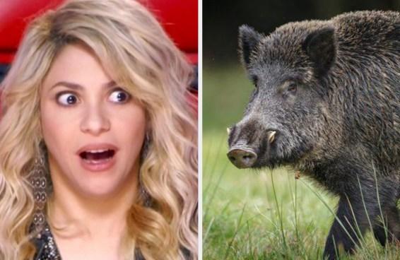 A Shakira foi roubada por dois javalis e nada mais faz sentido