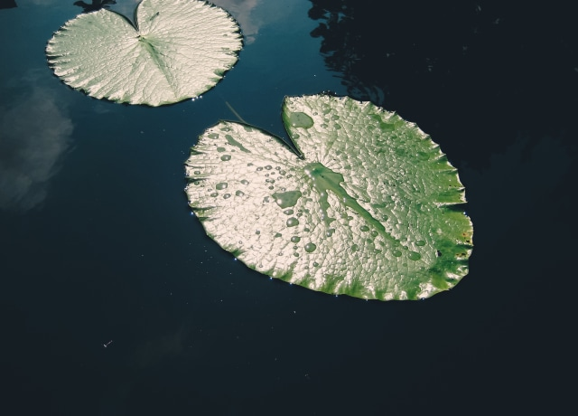 two green leaves on body of water
