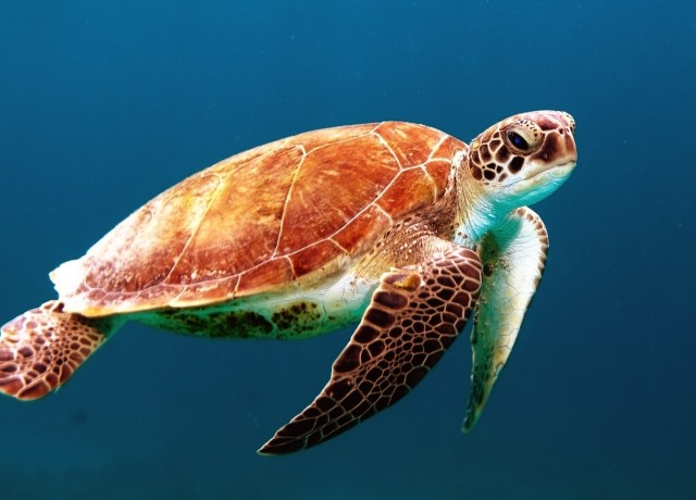 brown turtle swimming underwater