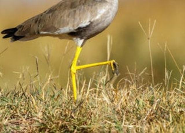 Foto das pernas de um pássaro, em cima da grama.