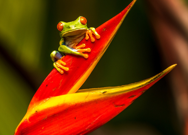 green tree frog on red leaf