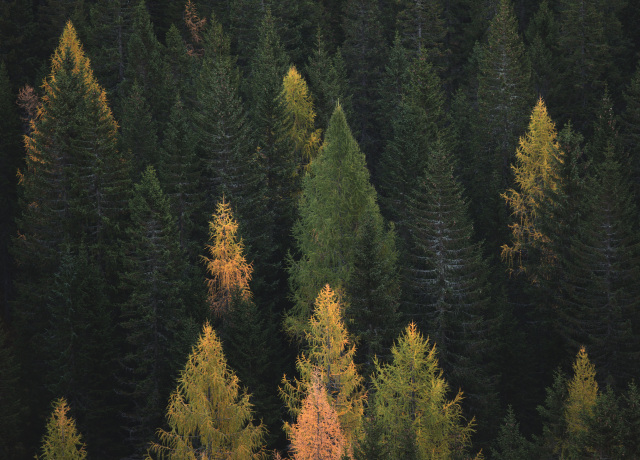aerial photography of pine trees