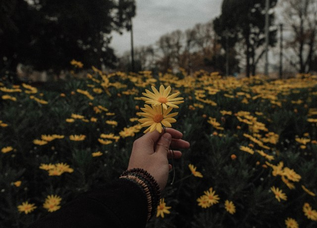 person holding yellow daisy flowers