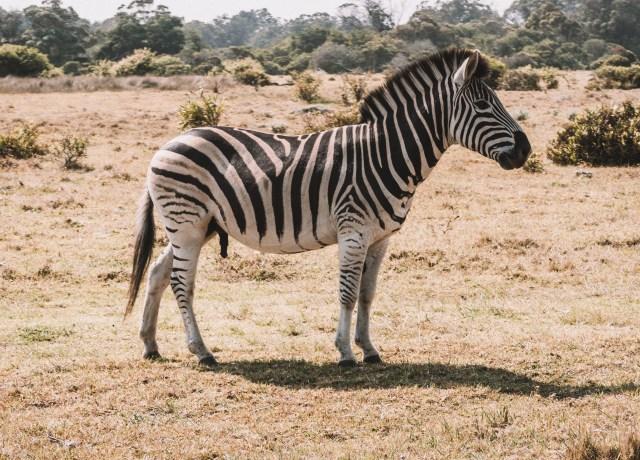 black and white zebra on field during daytime