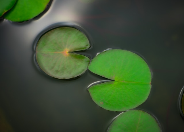 green leaves in pond
