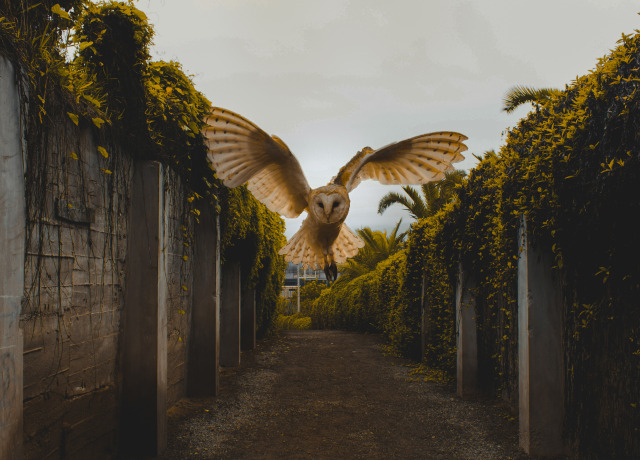 owl flying between walls