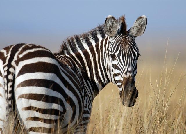 zebra standing on wheat field