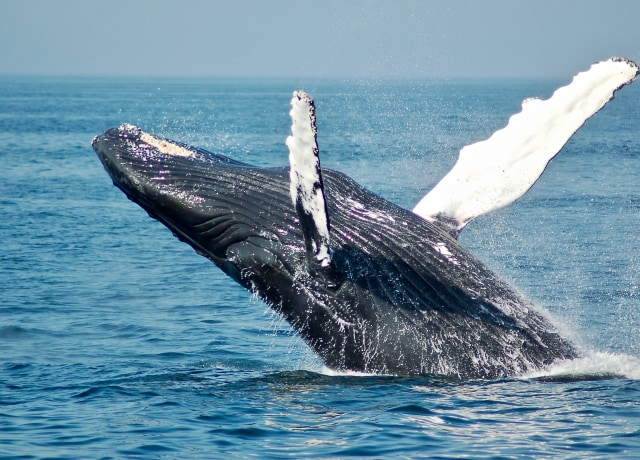 blue whale on sea