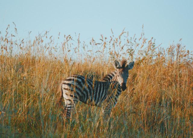 black and white zebra on brown fields during daytiem