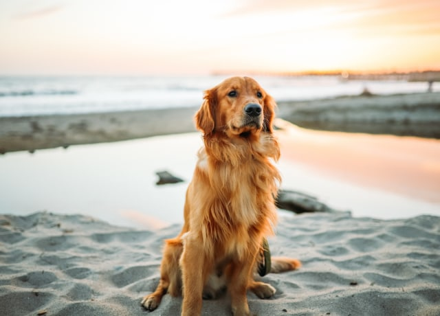 adult dog sitting on white sand near seashore